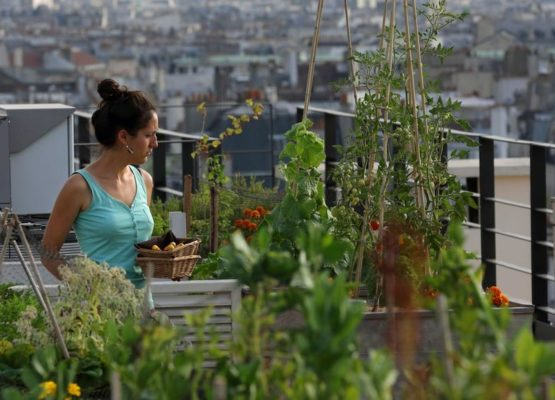 Sibylle, biotechnology engineering student, collects Orgeval yellow courgettes from the vegetable kitchen garden installed on the roof of La Mutualite building in Paris